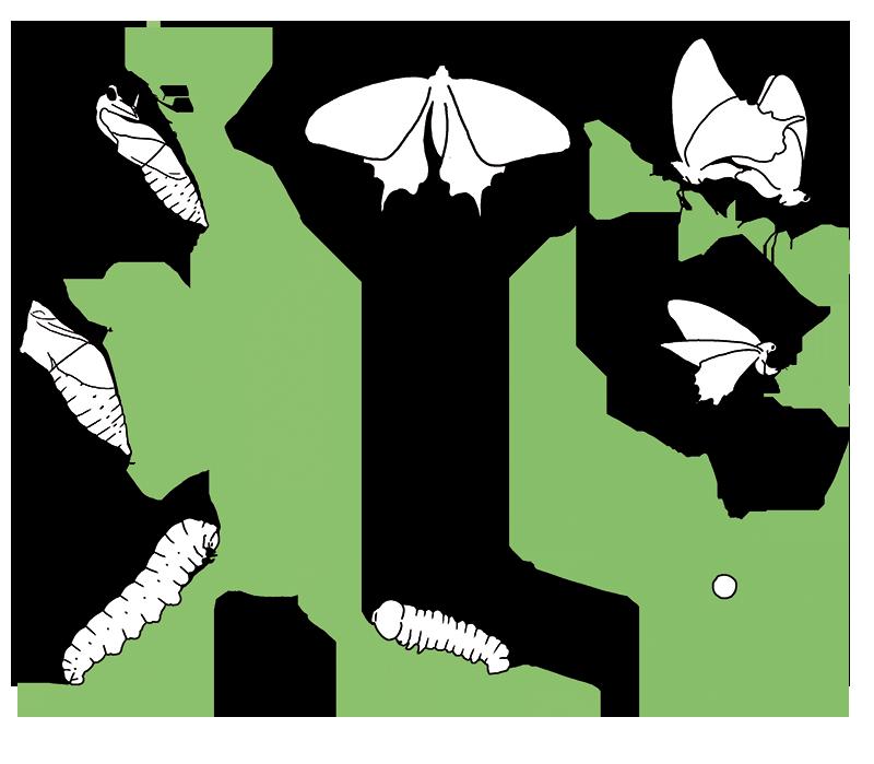 Schmetterling lebenszyklus 8738605 - memorables.info